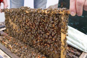 Bijen.1
